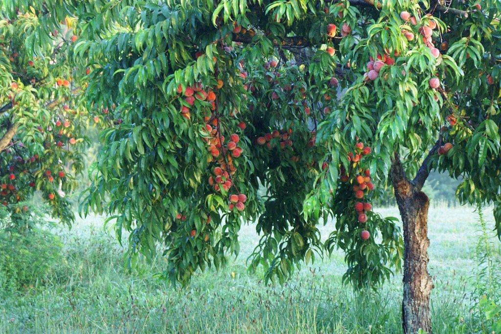 Legy l te is gy m lcs sz mai m ni - Eloigner les oiseaux des arbres fruitiers ...